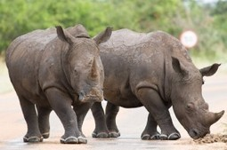 Are investors driving the illegal wildlife trade? | What's Happening to Africa's Rhino? | Scoop.it