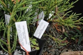 Tas researchers seize rare opportunity to bank seeds of native conifers | Australian Plants on the Web | Scoop.it