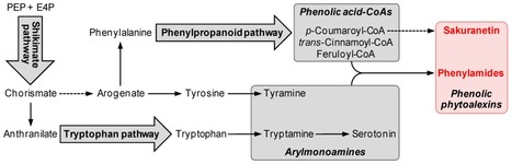 Phenolic Phytoalexins in Rice: Biological Functions and Biosynthesis | Rice Blast | Scoop.it