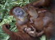 Formerly Blind Mama Orangutan Can See Her Babies For The First Time | this curious life | Scoop.it