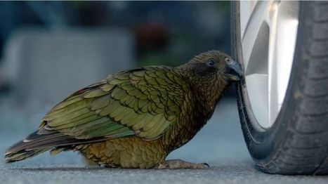 Concern over falling kea numbers in New Zealand - BBC News | Farming, Forests, Water, Fishing and Environment | Scoop.it