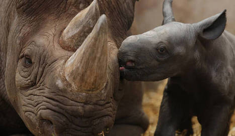 "Rhino poaching: Elevated to ""Priority Crime"" 