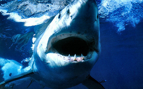 Great white sharks near extinction in California | 'Jaws' | Scoop.it