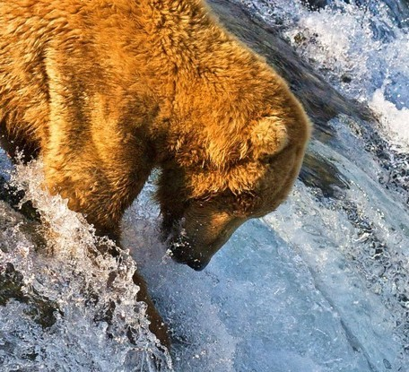Pizzly bears are appearing in the rapidly warming Arctic | Biodiversity protection | Scoop.it