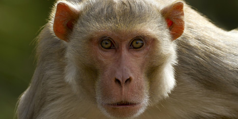 Brain Implant That Lets One Monkey Control Another May Lead To Paralysis Cure   Social Neuroscience Advances   Scoop.it
