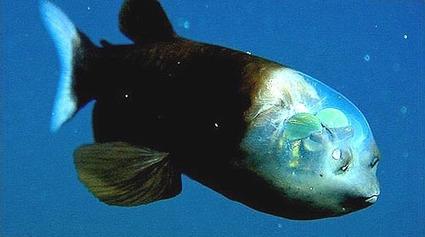 Noticias de ecologia y medio ambiente | Naturaleza sorprendente: pez con la cabeza transparente | Digital Sustainability | Scoop.it