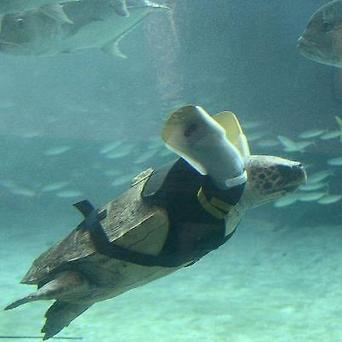 Loggerhead Gets Artificial Flippers | X-Ray Magazine | Scuba Smurf | Scoop.it