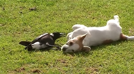 Magpie Rolls Over And Plays With A Dog (VIDEO) | animals and prosocial capacities | Scoop.it