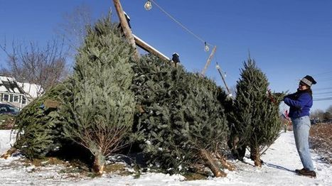 Growers resume push for Christmas tree 'tax' | Christmas Trees and More | Scoop.it