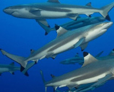Even Sharks Make Friends : Discovery News | Sharks | Scoop.it