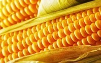 Insecticides Modified in GM Corn Polluting U.S. Waters | MN News Hound | Scoop.it
