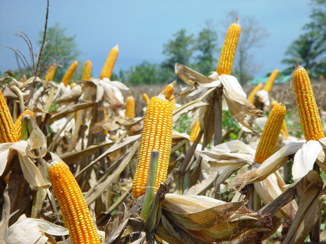 ISAAA.ORG Blog: Developing Countries Dominate Global Production of Biotech Crops   A Better Food System   Scoop.it