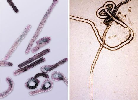 Successful siRNA Marburg Virus Treatment Offers Hope for Ebola Patients | Virology News | Scoop.it