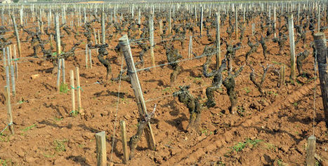 Les maladies menacent gravement le vignoble en France | Le vin quotidien | Scoop.it