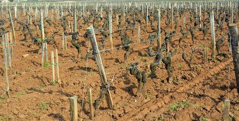 Les maladies menacent gravement le vignoble en France | Le vin quotidien | Scoop.it