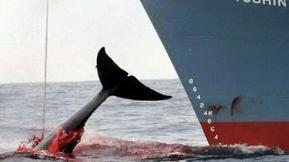 Heroes and villains in the whaling debate - The Drum Opinion - What is to be done about Japanese whaling? (Australian Broadcasting Corporation) | Earth Island Institute Philippines | Scoop.it