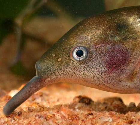 Elephantnose fish has no cortex but intelligently switches between senses | Amazing Science | Scoop.it