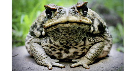 Native fish have outsmarted cane toads | Australian environment | Scoop.it