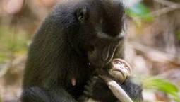 Une nouvelle espèce de macaque découverte en pleine forêt au Tibet - Maxisciences | Tibet and Tibetans | Scoop.it