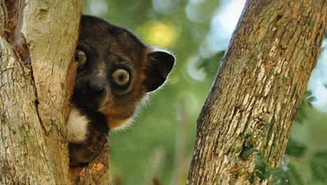 Look Out Lemurs: Climate Change Is Taking Your Land | Extinction Countdown, Scientific American Blog Network | GarryRogers Biosphere News | Scoop.it
