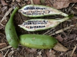 Wild bananas around Chiang Mai « Dokmai Dogma | forest gardening | Scoop.it