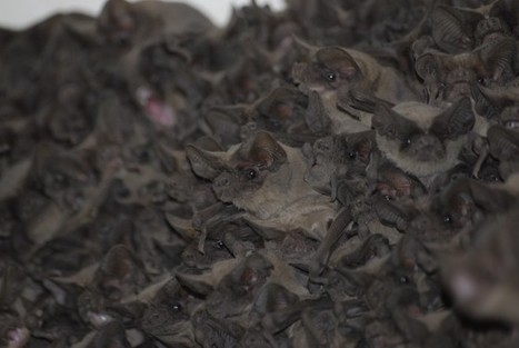 The Hills Are Alive With the Sound of Bat Song - Wired | Bat Biology and Ecology | Scoop.it