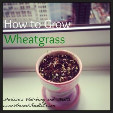 How to Grow Wheatgrass   Where I Need to Be   Urban gardening   Scoop.it