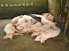 L'hépatite E fréquente chez les porcs français | Toxique, soyons vigilant ! | Scoop.it