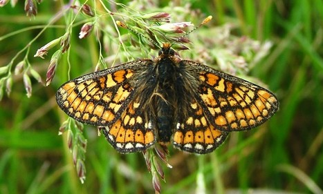 Bad news for marsh fritillary and dormice in Carmarthenshire | Wildlife Trust of South and West Wales | Scoop.it