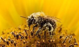 Ministers reject plan for 'emergency' use of banned bee-harming pesticides | GMOs & FOOD, WATER & SOIL MATTERS | Scoop.it