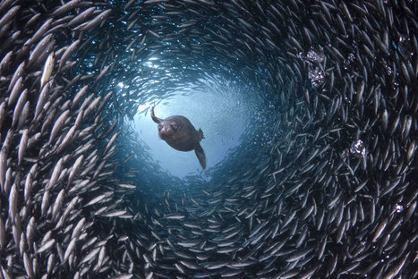 GREAT underwater photographs of life in the world's oceans | OUR OCEANS NEED US | Scoop.it