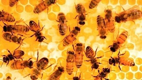 Las abejas caen en picado: ¿Hacia un apocalipsis agrícola en EE.UU.?   Animales en peligro   Scoop.it