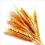 Wheat Germ Oil | Essential Oils, Mint Products, Menthol Crystals | Scoop.it
