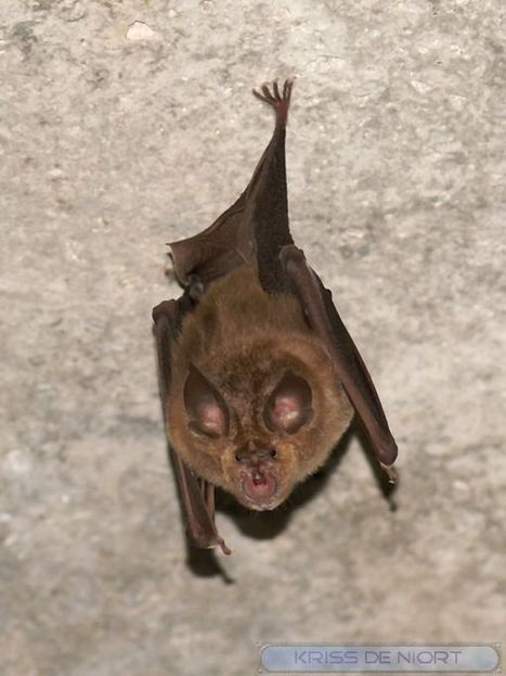Photo de chauve-souris : Grand Rhinolophe - Rhinolophus ferrumequinum - Rhinolophe fer à cheval - Greater Horseshoe Bat | Fauna Free Pics - Public Domain - Photos gratuites d'animaux | Scoop.it