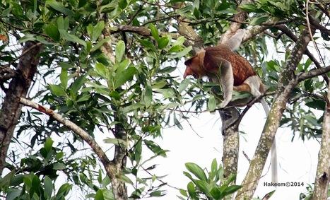 Photo 173   Bekantan - Wild Indonesia   Scoop.it