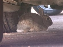 Bunnies attack cars at Denver Airport | Quite Interesting News | Scoop.it