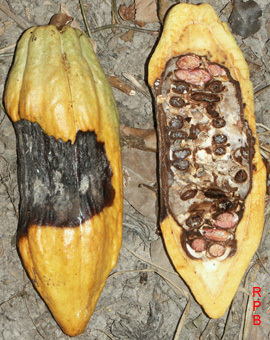 APS Feature: World Chocolate Production: The Impact of Plant Diseases (2001) | Emerging Research in Plant Cell Biology | Scoop.it