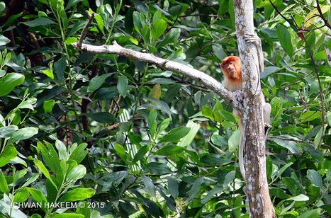Photo 179   BEKANTAN -WILD INDONESIA   Bekantan - Wild Indonesia   Scoop.it