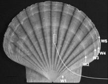 Stressed-out Scallops - Science Update: The Science Radio News ... | Amocean OceanScoops | Scoop.it