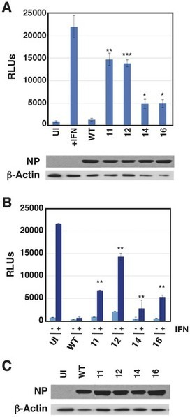 Generation of Replication-Proficient Influenza Virus NS1 Point Mutants with Interferon-Hyperinducer Phenotype   Influenza   Scoop.it