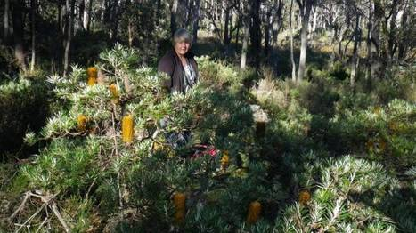 New England Banksia finds its place in history | Australian Plants on the Web | Scoop.it