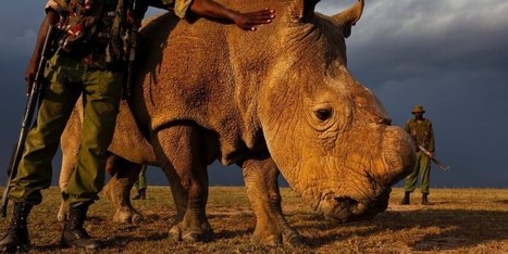 The World's Last Male Northern White Rhino Placed Under Armed Guard | Xposed | Scoop.it