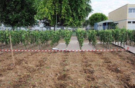 Des faucheurs d'OGM portent plainte contre l'Inra   Actualité de l'Industrie Agroalimentaire   agro-media.fr   Scoop.it