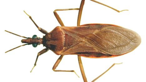 What you should know about Arizona's 'kissing bug' | CALS in the News | Scoop.it