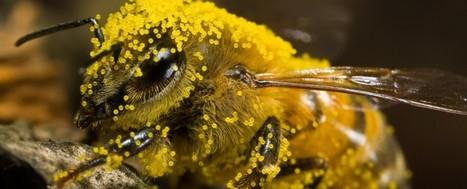 Pollinisation : abeilles sensibles à la nicotine | Abeilles, intoxications et informations | Scoop.it