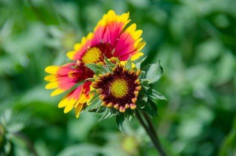 Cómo cultivar gaillardia: ¡La flor que tu jardín pide a gritos! | Agua | Scoop.it