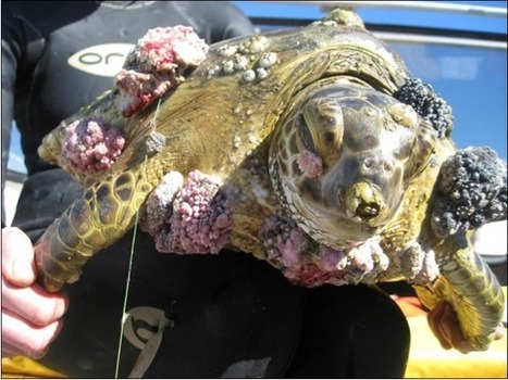 Disfiguring turtle disease linked to dredging, mines run-off and contaminated seagrass - Just Grounds Community | Environmental Happenings | Scoop.it