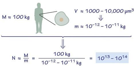 De combien de cellules sommes nous constitués? | Notebook | Scoop.it