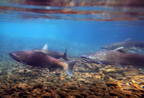 California Drought Has Migrating Salmon Hitching Rides in Trucks - Businessweek | Fish Habitat | Scoop.it