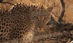 Leopards have lost 75% of their historical habitat | GarryRogers Biosphere News | Scoop.it